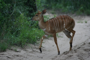 female-impala-1434928-m